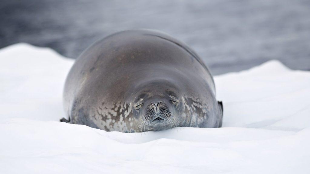 Жирный тюлень