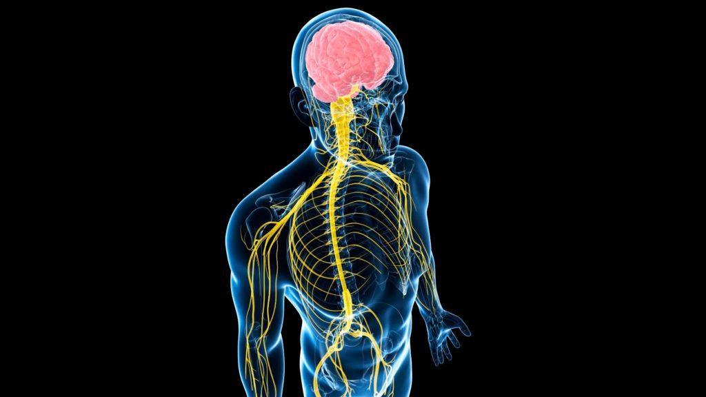 связь головного и спинного мозга с конечностями